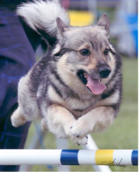 Swedish Vallhund Sci-Fi, run by Janet Gauntt, jumping at the Northeast Regional (photo by Tien Tran)