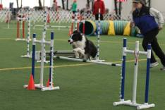 BWBC Johnny B being rear crossed by Janet Gauntt at the 2015 Mid-Atlantic Agility Showcase
