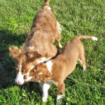 Our Dogs - BWBC Dexter 5