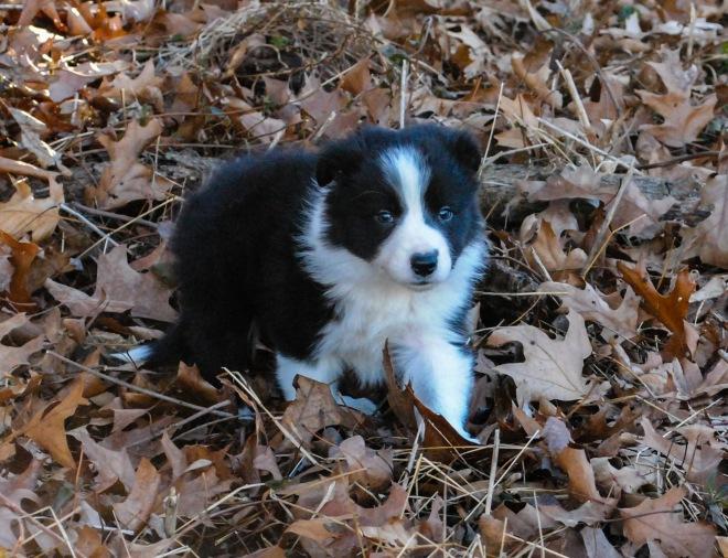star pup