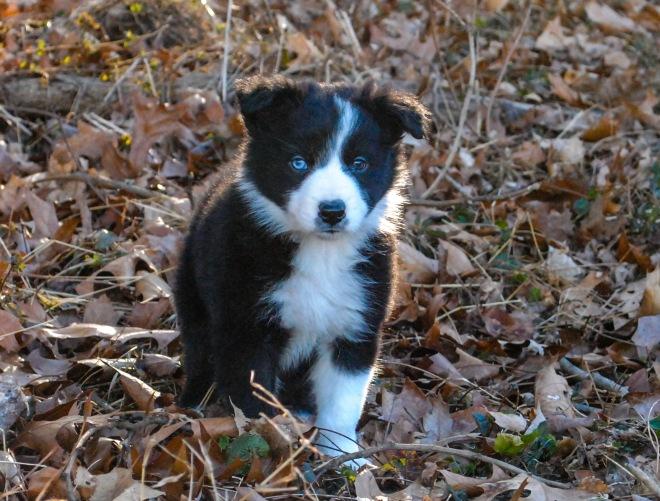 star pup2