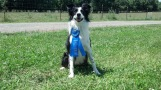 Sequel taking first in Novice at a USBCHA herding trial